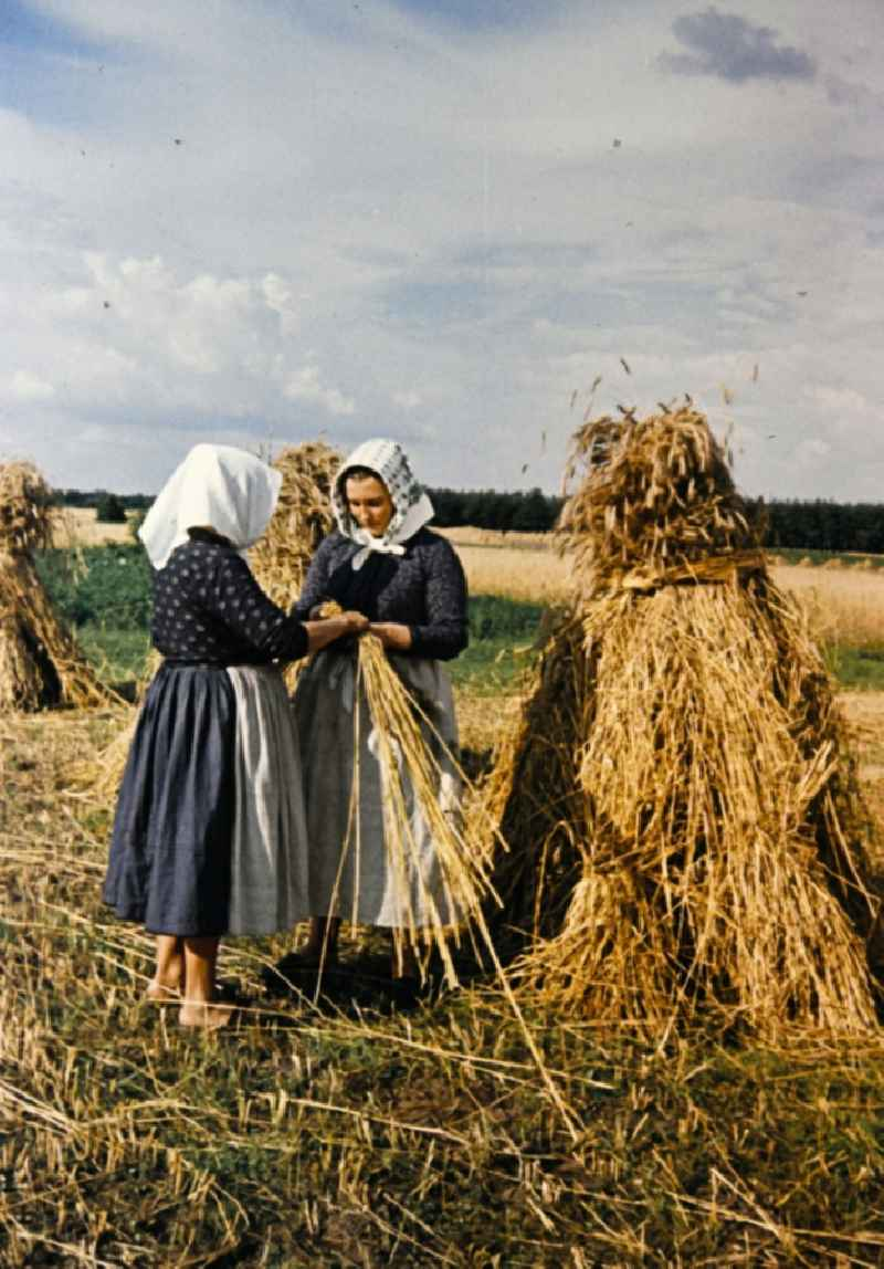 Farmers harvesting grain and sheaf laying on a harvested field in Teicha in the state Saxony on the territory of the former GDR, German Democratic Republic.